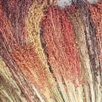 Mixed Colored Broom Corn