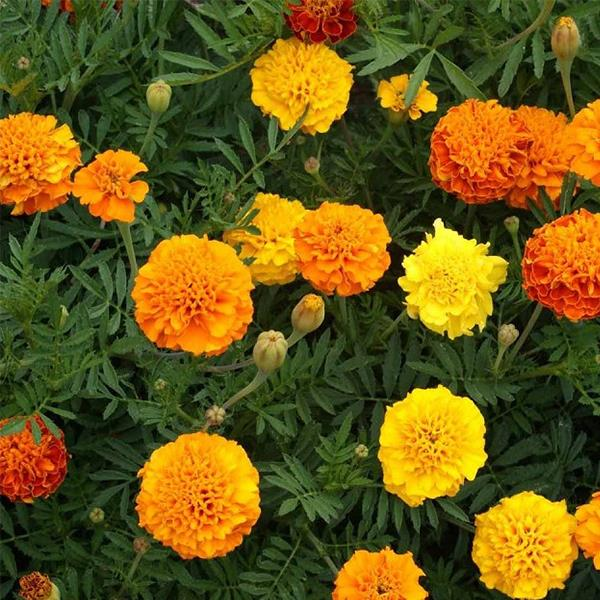 French Marigold Petite Mix