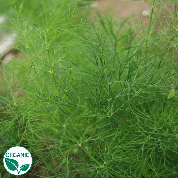 Dill Greensleeves