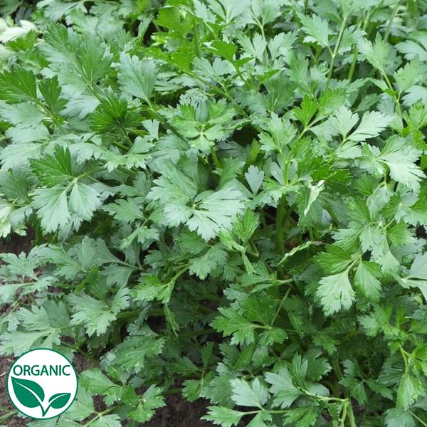 Parsley Peione
