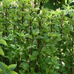Basil Everleaf Thai Towers