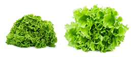 OsborneSeed-One-Cut-Lettuce-left