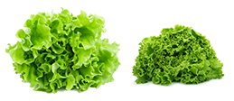 OsborneSeed-One-Cut-Lettuce-right