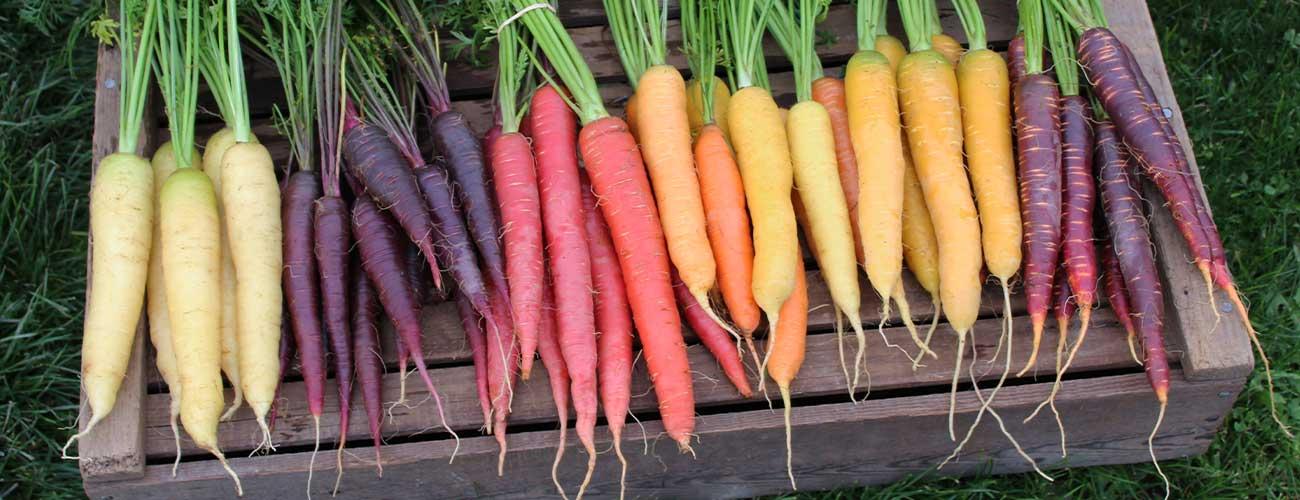 Carrots-all-kindsRotator-1300-x-500-DPI-96