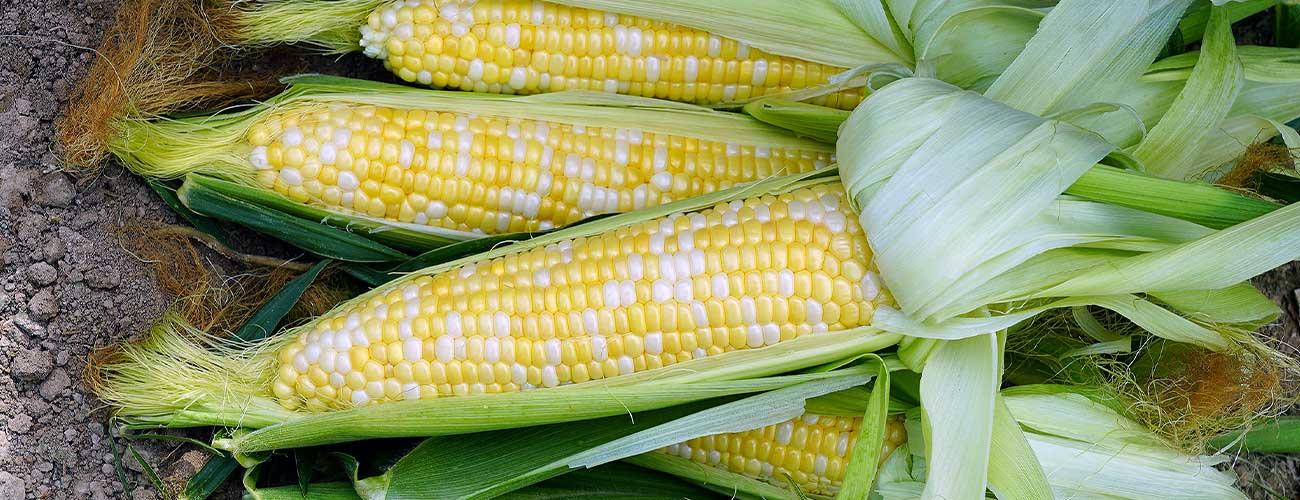 Corn,-Bi1300-x-500-DPI-96