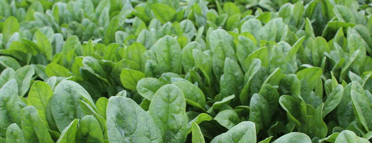 Spinach,-Dallas-1300-x-500-DPI-96