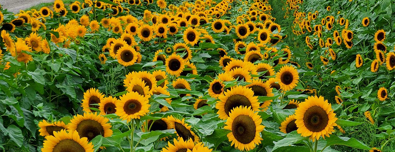 Sunflower-1300-x-500-DPI-96